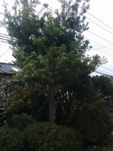 庭木の剪定!?001